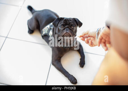 Portrait of Beautiful male Pug puppy dog sitting in front of his owner and looking his hand - Stock Photo