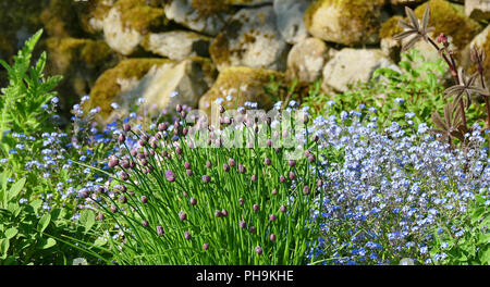 Chives in bud - Stock Photo