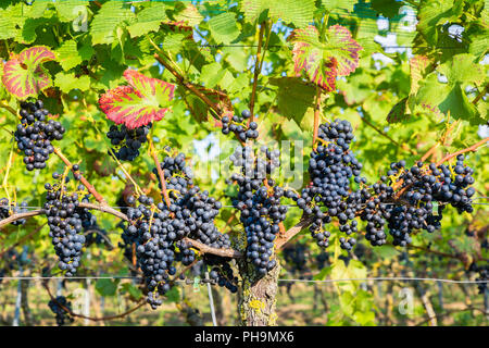 Hanging blue grape bunches in vineyard - Stock Photo