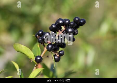 Berries of a common privet bush (Ligustrum vulgare) - Stock Photo