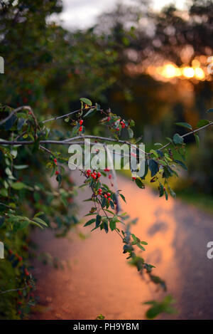 branches with red berries and green leaves in a beautiful sunset light - Stock Photo