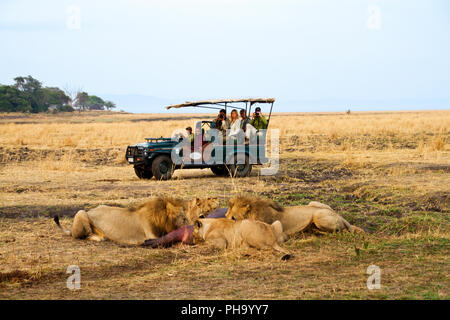 Lions of the Katuma Pride feast on the remains of a juvenile hippo they killed during the previous evening. - Stock Photo