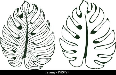 The leaves monstera are used in designs on a white background Isolate lined pattern Illustrator eps 10 - Stock Photo