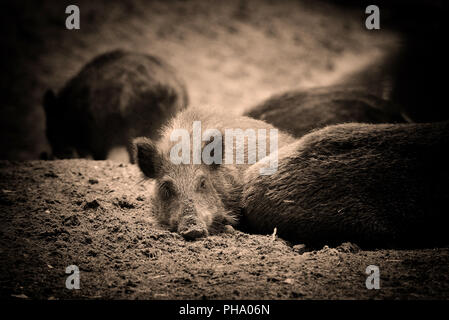 Wild boar piglet - young wild boar lies in the forest. Art photo in sepia. - Stock Photo