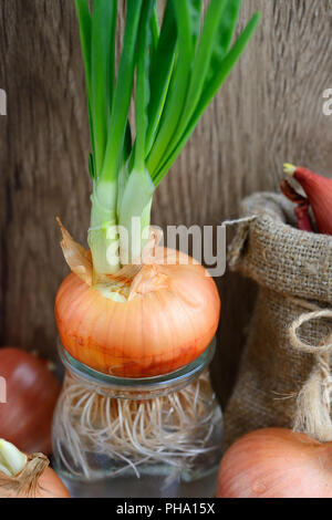 Sprouted onions in glass containers on wooden background - Stock Photo