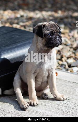 Cute Pug Puppy Sitting Down - Stock Photo