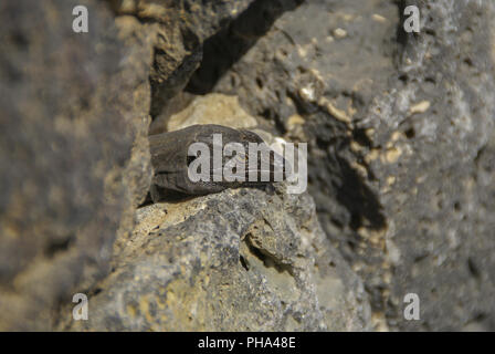 Canary Lizard, Canary Islands, La Palma, Spain - Stock Photo