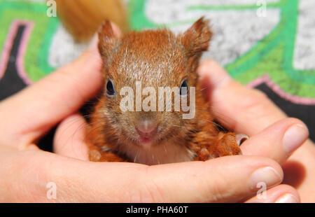 squirrel baby - Stock Photo