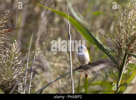 Bearded Reedling, Hortobágy-Nationalpark, Puszta, Hungary - Stock Photo