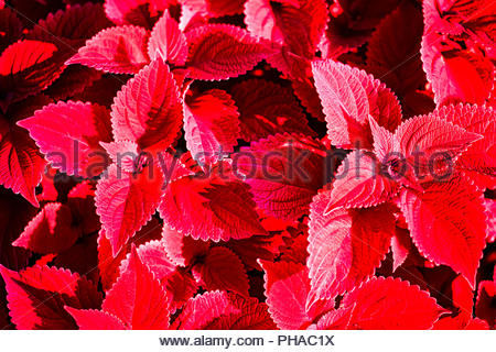 Red coleus abstract background - Stock Photo
