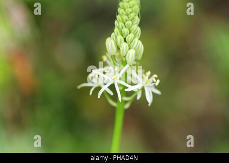 Prussian asparagus (Ornithogalum pyrenaicum) - Stock Photo