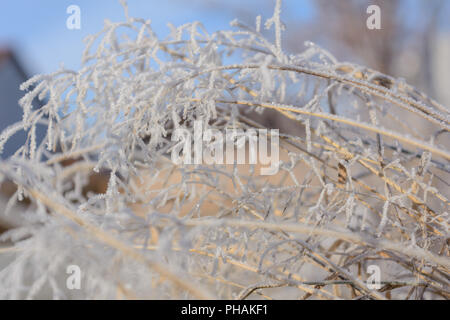 Grasses in hoarfrost - weeds with ice crystals