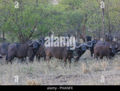 Buffalo herd in the Serengeti, Tansania, east Africa - Stock Photo