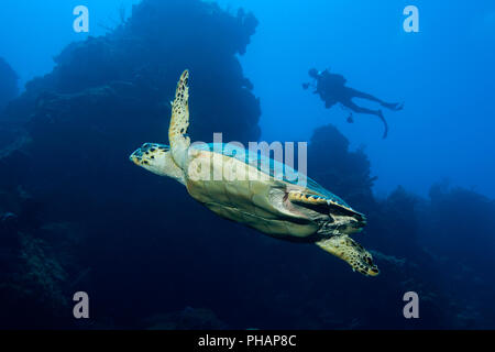 A Hawksbill Turtle with a tag in its fin and a diver in the background on a reef in Little Cayman. - Stock Photo