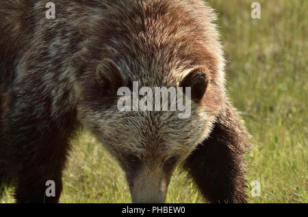 A close up image of a grizzly bear  (Ursus arctos); walking forward with his head down in an intimidating manner - Stock Photo