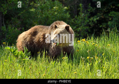 A grizzly bear (Ursus arctos); looking back while feeding on green dandilyon leaves in rural Alberta Canada. - Stock Photo