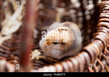 Close-up Little chicken in a brown basket. - Stock Photo