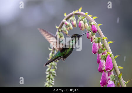 Male Magnificent hummingbird (Eugenes fulgens) in Costa Rica - Stock Photo