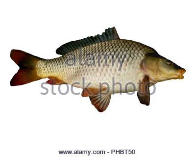 carp big fish close up on a white background - Stock Photo