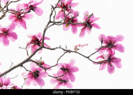 Pattern of branches with no leaves but with a lot of beautiful pink blooming magnolia flowers isolated on white. - Stock Photo