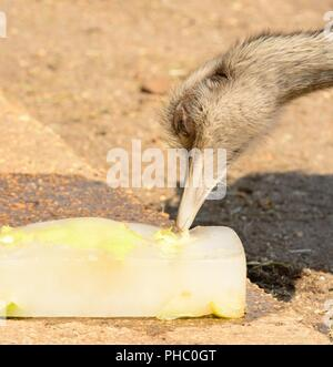 Close up head shot of an ostrich pecking a block of ice on a hot summer day - Stock Photo