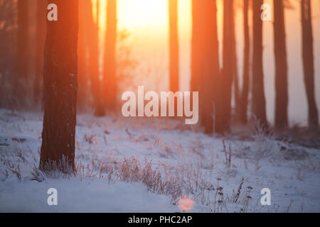 Sunrise in winter forest. Trees illuminated by red rising sun in frosty morning. Winter background. Copy space. - Stock Photo