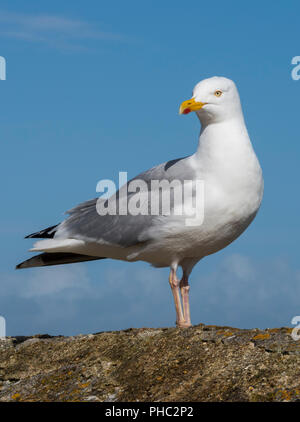 a seagull or gull standing on a sea wall. - Stock Photo
