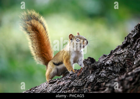 American red squirrel, on tree branch, Tamiasciurus hudsonicus, Manitoba, Canada. - Stock Photo