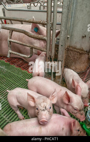 Baby pig in a pigsty - Stock Photo