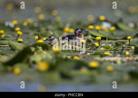 red-necked grebe - Stock Photo
