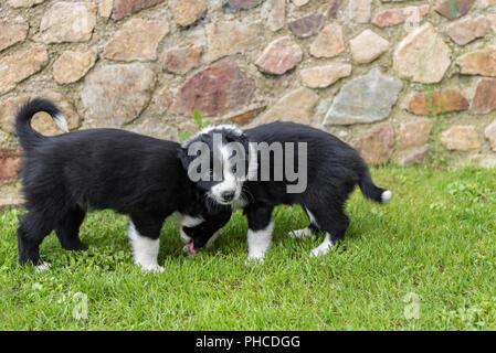 two black puppies in the meadow - australian shepherd puppies - Stock Photo