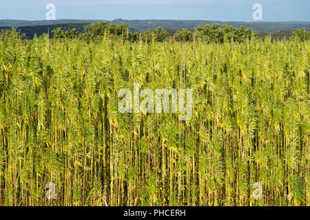 Mature industrial hemp (Cannabis Sativa) growing in Lower Austria - Stock Photo
