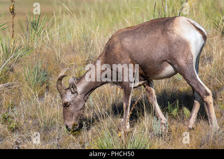 Bighorn sheep (Ovis canadensis) female grazing in highland prairie of Badlands National Park, South Dakota, USA - Stock Photo