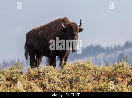 American bison (Bison bison) male in highland prairie, Yellowstone National Park, Wyoming, USA - Stock Photo