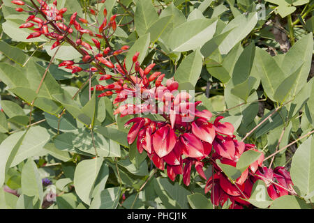 Coral tree, Erythrina crista-galli - Stock Photo