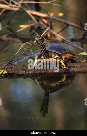Florida redbelly turtle Pseudemys nelson perches on a cypress log - Stock Photo