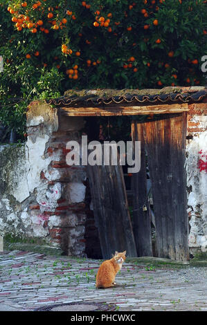 Stray cat sits in front of old doorway and orange tree in Selcuk, Turkey - Stock Photo