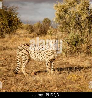 Adult cheetah walks among short dry grass in Namibia - Stock Photo