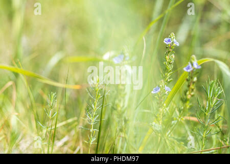 Green grass and tender blue flowers in the field - Stock Photo