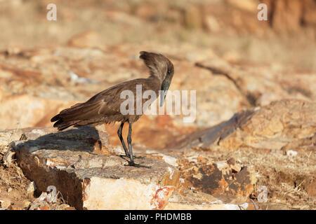 Hamerkop (Scopus umbretta) on a rock in East Africa. - Stock Photo