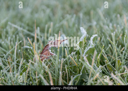 dry leaves and frosty frost on dandelions and grass - Stock Photo