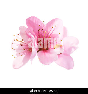 Almond pink flowers isolated on white - Stock Photo