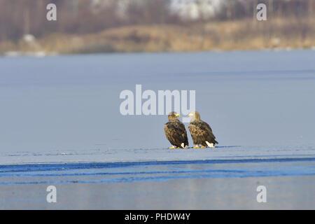 Adult White-tailed eagle - Stock Photo