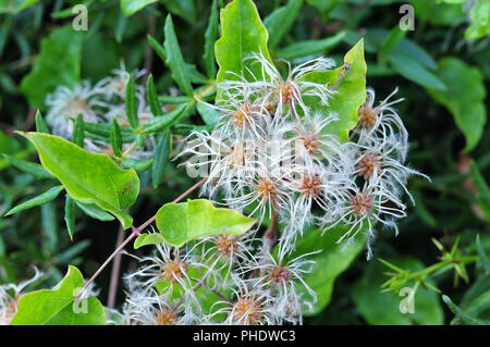 close-up of feathery seed of clematis vitalba, also known as old man´s beard or traveller´s joy - Stock Photo