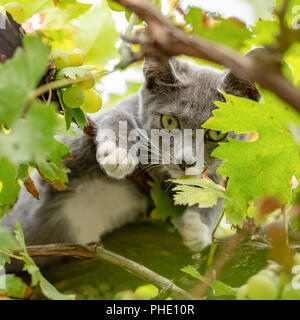 Lovely kitty with grey fur, playing in grapevine. - Stock Photo