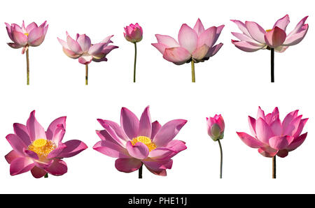 Collection set fresh pink lotus petal flower isolated on white background. Close focus of beautiful pink lotus flowers isolated is blooming - Stock Photo