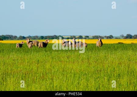 Sheep Pasture - Mid West - Western Australia - Stock Photo