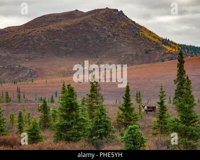 Caribou Standing in Autumn Tundra of Denali National Park