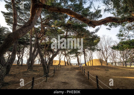 gyerim pine tree forest - Stock Photo