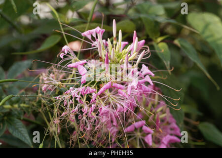 Flower of the spider plant Cleome spinosa. - Stock Photo